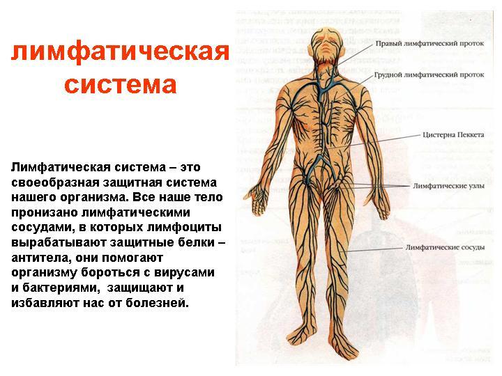 Лимфатическая система организма (4)